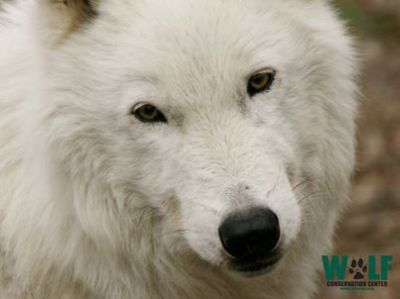 'Atka' Ambassador Wolf, photo courtesy of WCC