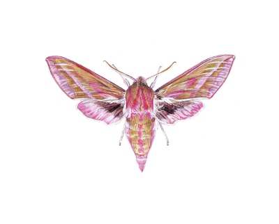 'Small Elephant Hawk-moth', 2012, colour Biro drawing by Jane Lee McCracken