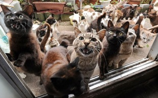Cat Survivors of the 2011 Tsunami, Tashirojima (Cat Island), Japan