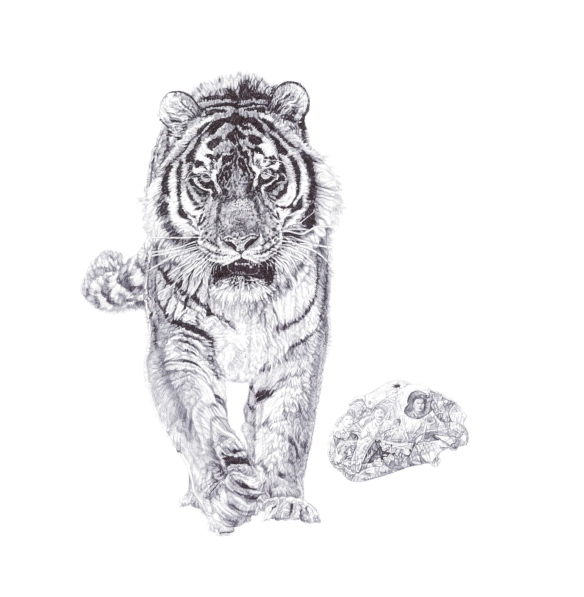 """Bang!"", Siberian Tiger, 'In Homage to the Last Great Carnivores of Eurasia', 2013 black Biro drawing by Jane Lee McCracken"