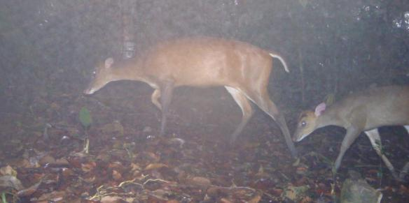 'Sambar Deer and Fawn' Camera Trap Image.  Photo Credit: WCS-Malaysia Program