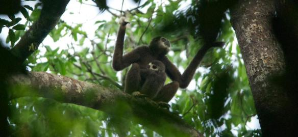 'Mother and Young Gibbon' Photo Credit:  WCS -Malaysia Program
