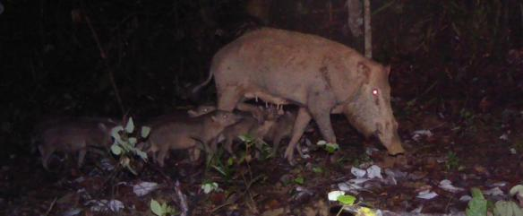 'Bearded Pig and Young' Camera Trap Image.  Photo Credit: WCS-Malaysia Program