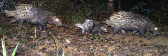 Porcupine Family Camera Trap Image. Credit: WCS-Malaysia Program