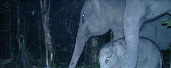 'Asian Elephants, Mother and Calf' Camera Trap Image.  Photo Credit: WCS-Malaysia Program