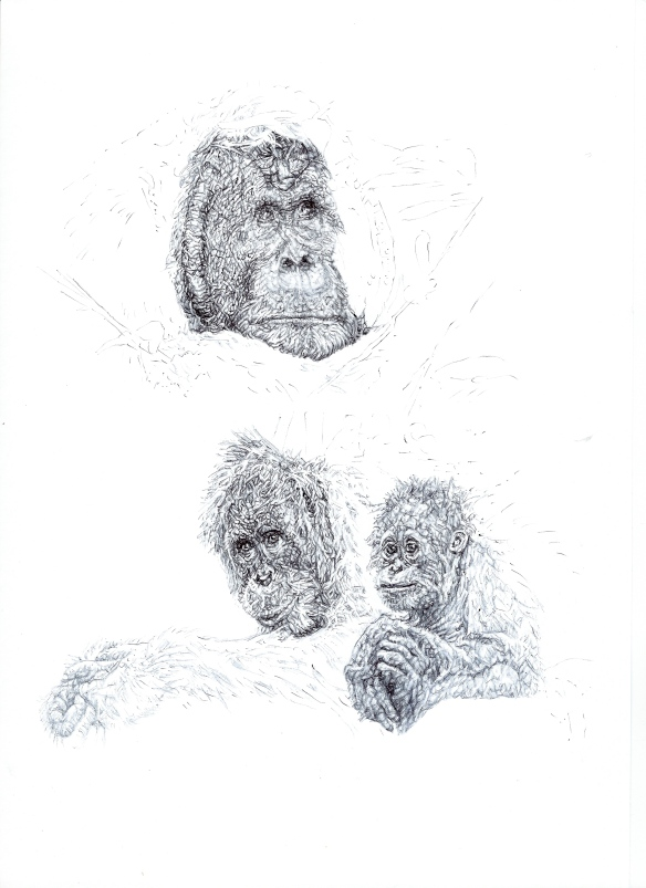 'Orang-utans', 2014, black Biro drawing for WCS Malaysia Program