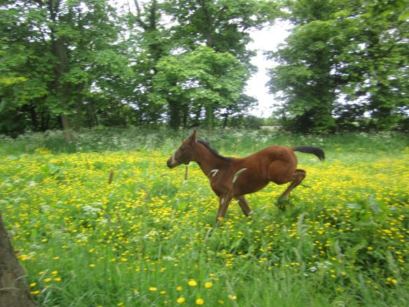 'Running Free', Pilgrim at a few weeks old, 2012