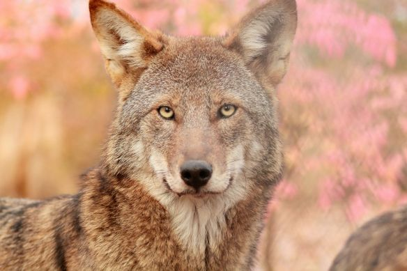 Member of the Wolf Conservation Center's Red Wolf Pack. Photo Credit: Maggie Howell WCC 2016